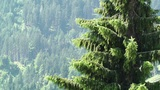 European Alps Austria 14 Pine Forest stock footage
