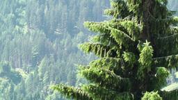 European Alps Austria 14 pine forest Footage