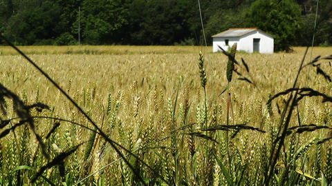 Wheatfield in the Summer 01 Stock Video Footage