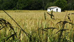 Wheatfield in the Summer 01 Footage