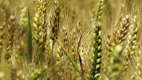 Wheatfield in the Summer 03 closeup Stock Video Footage
