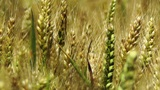 Wheatfield in the Summer 03 closeup Footage