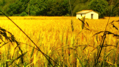 Wheatfield in the Summer 05 stylized Stock Video Footage