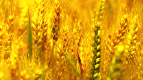 Wheatfield in the Summer 07 closeup stylized Stock Video Footage