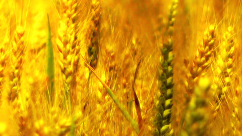Wheatfield in the Summer 07 closeup stylized Footage