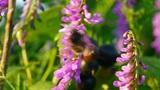 bumblebee Footage