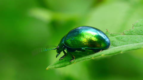 green beetle Stock Video Footage