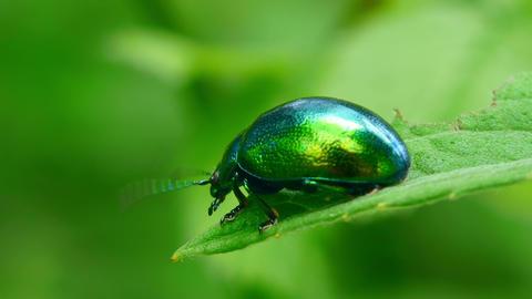 green beetle Stock Video Footage