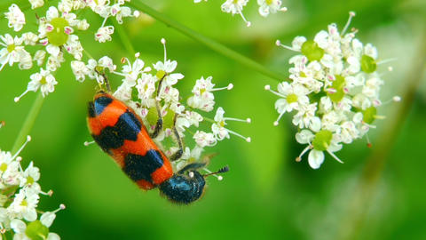 orange beetle macro Stock Video Footage