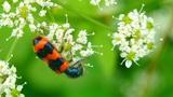 orange beetle macro Footage