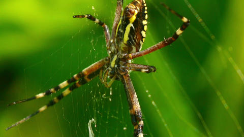 yellow black spider 2 Stock Video Footage
