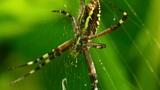 yellow black spider 2 Footage