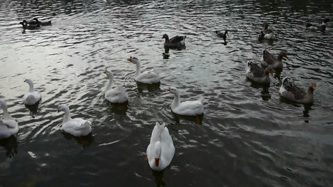 Goose,Ducks geese and swans swimming on water,lake Stock Video Footage