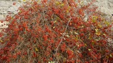 Red fruit bushes on stone wall Footage