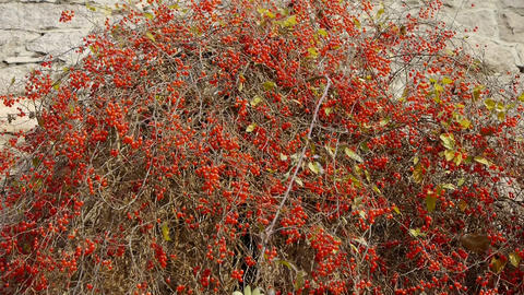 Red fruit bushes on stone wall Stock Video Footage