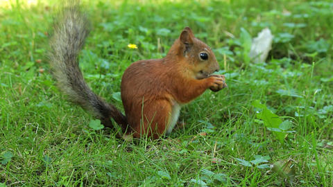 Squirrel finish eating Stock Video Footage