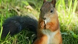 Squirrel dines Footage