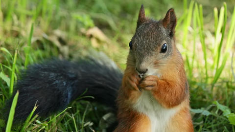 Squirrel dines Stock Video Footage