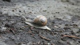 Snail crawling on the ground, time lapse Footage