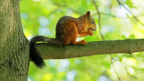 Squirrel on a branch cracks a nut shell Stock Video Footage