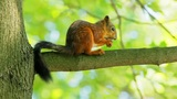 Squirrel on a branch cracks a nut shell Footage