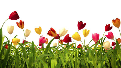 Colorful tulips with alpha channel Stock Video Footage