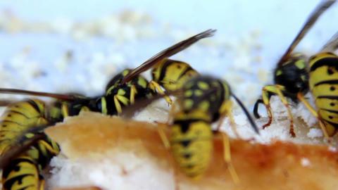wasps Footage