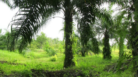 Oil Palm Plantations stock footage