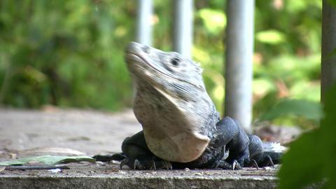 Green iguana (Iguana iguana) Footage