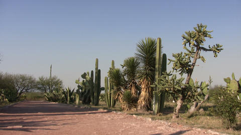 Cactus plants, Tula Footage