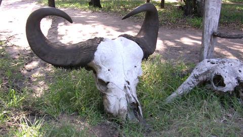 Wildebeest skull, Masai Mara Footage