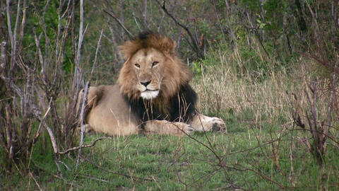 Lion, Masai Mara Footage