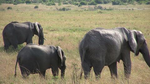 African Elephant, Masai Mara Footage