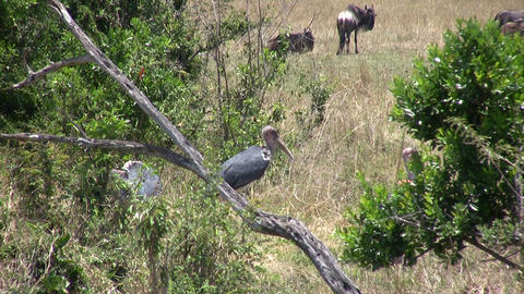 Marabou Stork, Masai Mara Footage