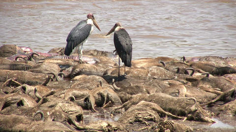 Dead Blue Wildebeests and Marabou Stork, Masai Mara Footage