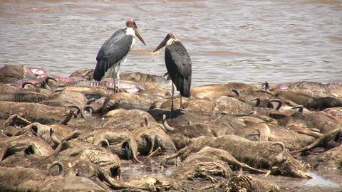 Dead Blue Wildebeests and Marabou Stork, Masai Mara Footage