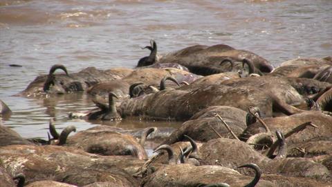 Dead Blue Wildebeests, Masai Mara Footage