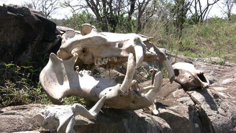 Dead Animals Skull, Masai Mara stock footage