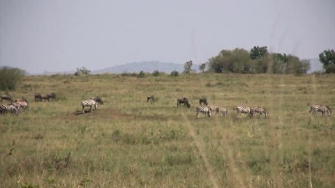 Grant's Zebra, Masai Mara Footage