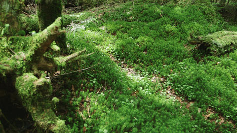 Moss Forest, Northern Yatsugatake Live Action