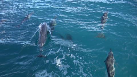 Spinner Dolphin Underwater stock footage