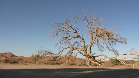 Tree in Namib Desert, Namibia ビデオ