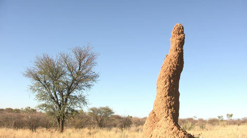 Anthill in Namib Desert Footage