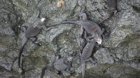 Marine Iguanas Footage