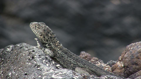 Lava Lizard stock footage