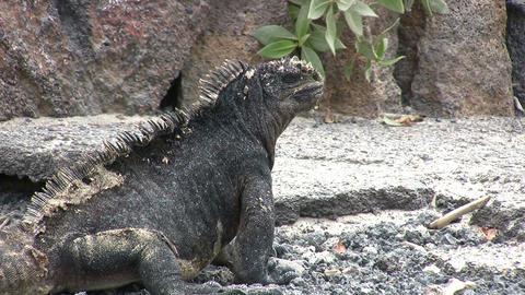 Marine Iguana ビデオ