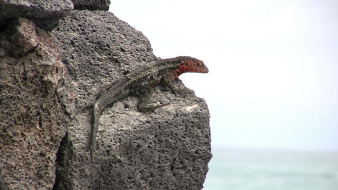 Lava Lizard Footage
