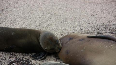 Galapagos Sea Lion Footage