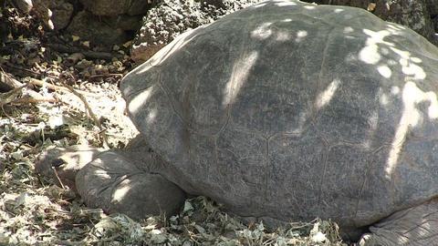 Galapagos Giant Tortoise ライブ動画