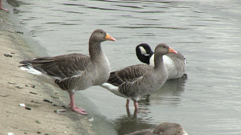 Greylag Goose in Pond in Hyde Park Footage